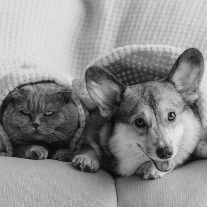 happy-dog-angry-cat-under-blanket